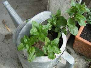 Spearmint can be grown in your yard or simply on your windowsill.
